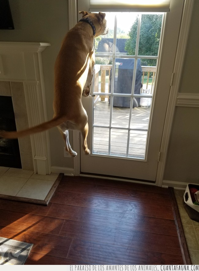 exterior,maravilla,perro,saltar,salto,ventana