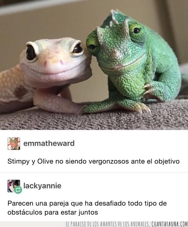 camaleon,desafiar,gecko,juntos,lagarto,obstáculos,pareja,réptiles,superar