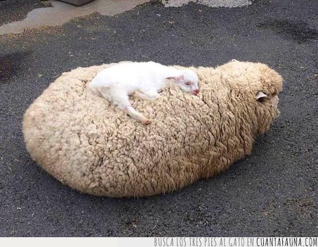blando,cama,colchón,dormir,madre,mejor,mullida,oveja,pelo