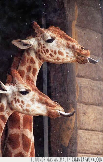jirafas,lengua,provocadoras