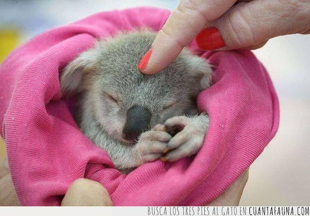 cabeza,cría,dedo,horas,koala,servir,vergonzoso