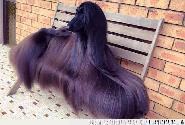 goals,melena,pelo,peluquería,perro