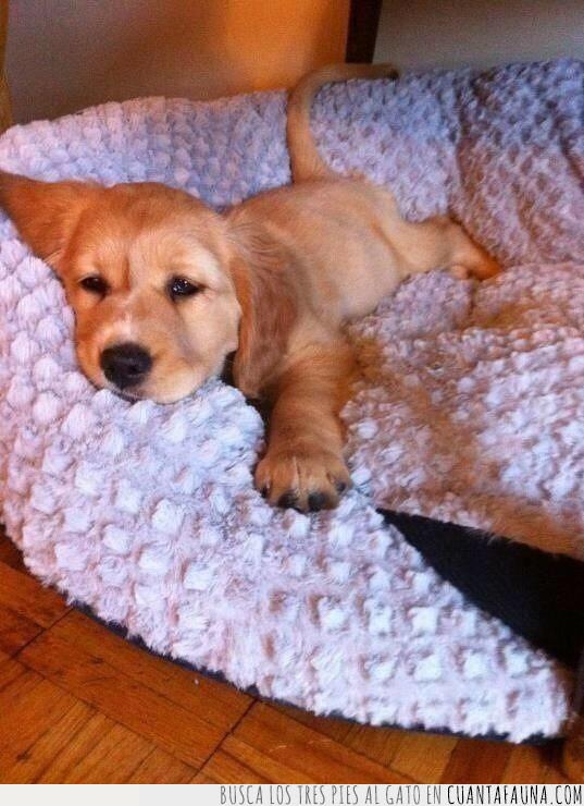 cachorro,cama,dormir,hora,labrador,noche,perro,última