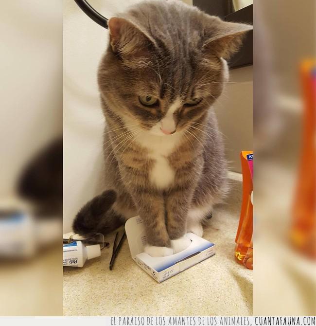 caja,gato,lentillas,meter,patas,tamaño