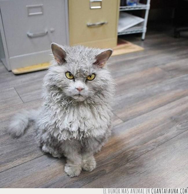 caer,gato,mal,pelo,rizado