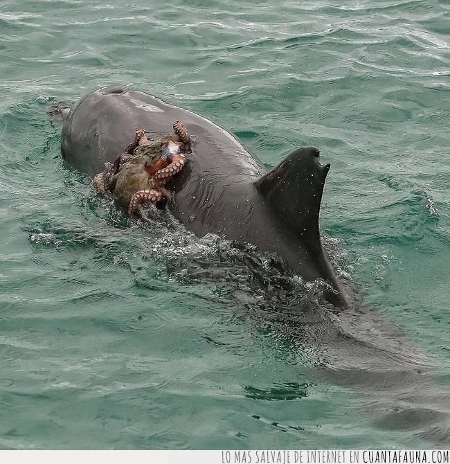 delfín,enganchar,mover,nadar,perezoso,pulpo,transporte,usar