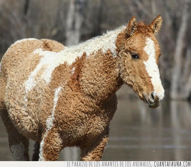 bicolor,caballo,pelaje,pelo,rizado