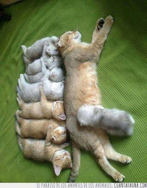 crías,gato,madre,materna,satisfacción