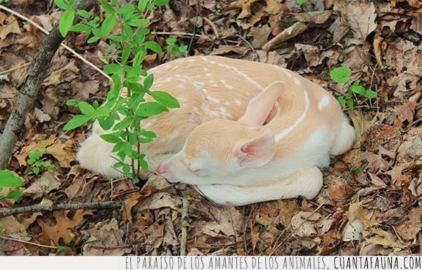 albino,blanco,cervatillo,ciervo,color,cría,pelaje
