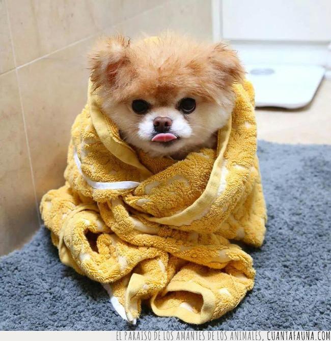 baño,ducha,frío,manera,perro,salir,tapar,toalla