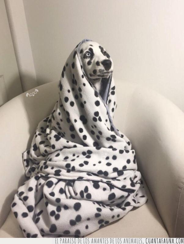 dálmata,frío,manta,perro