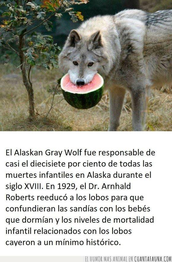 alaska,bebés,curiosidades,lobo,sandías