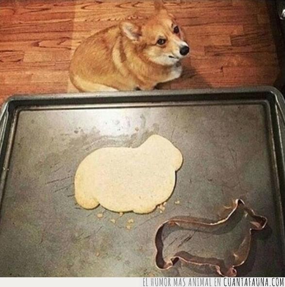 corgi,galleta,perro