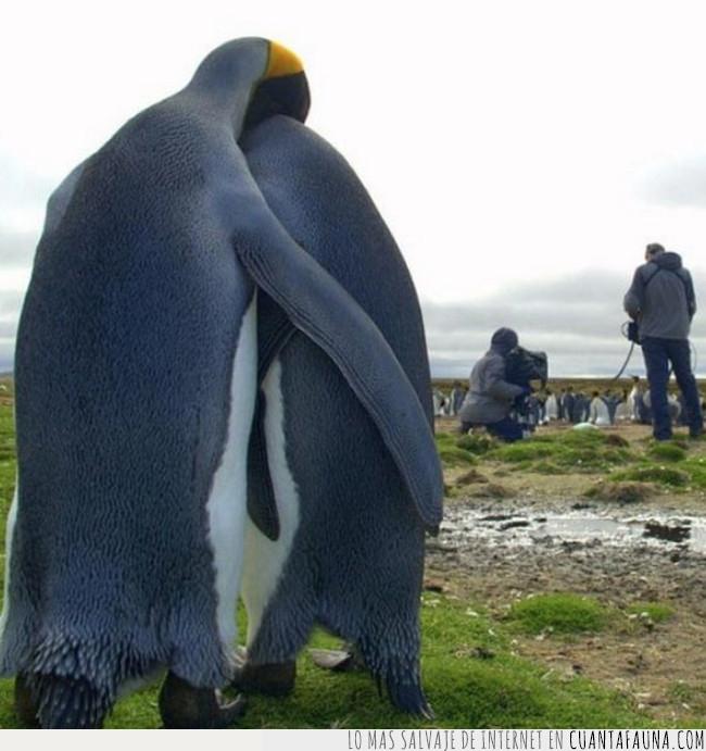 amor,pingüino