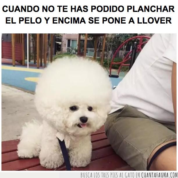 afro,perro