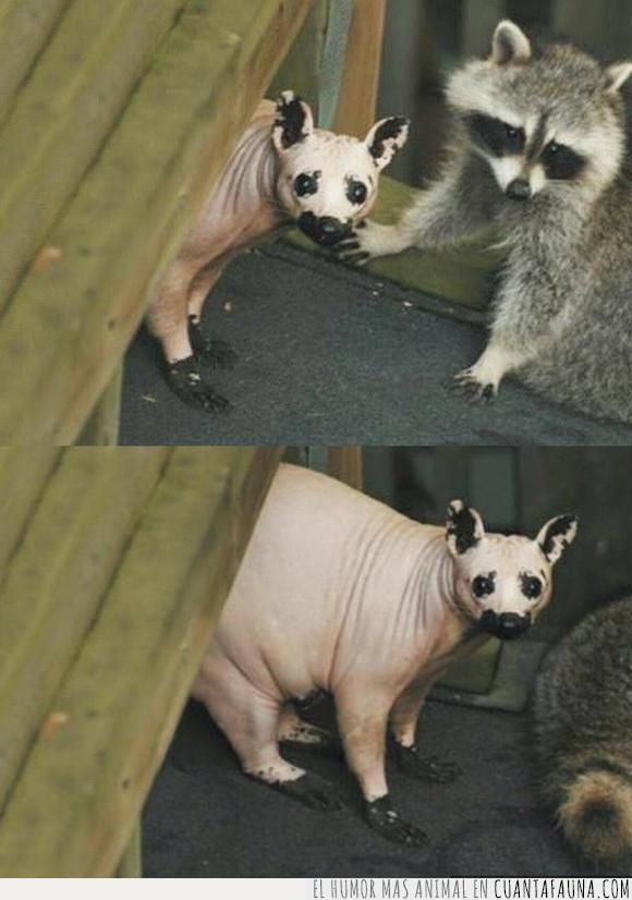mapache,sin pelo