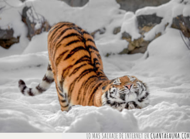 rusia,tigre