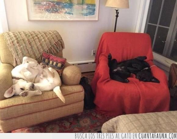 can,perro,sillòn