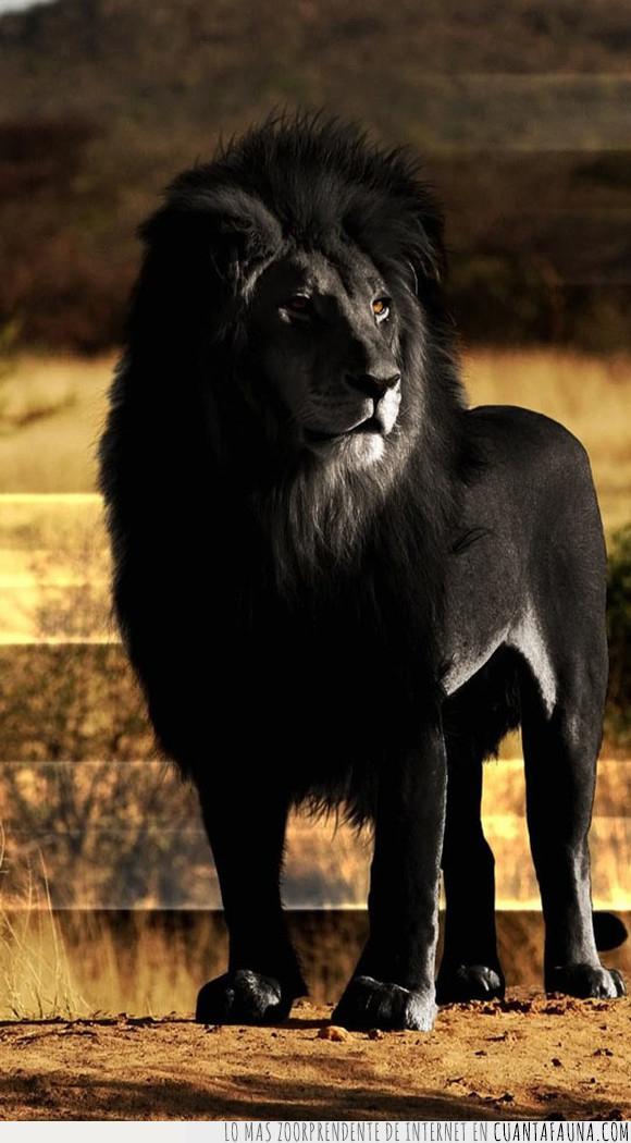 extinto,león,león negro
