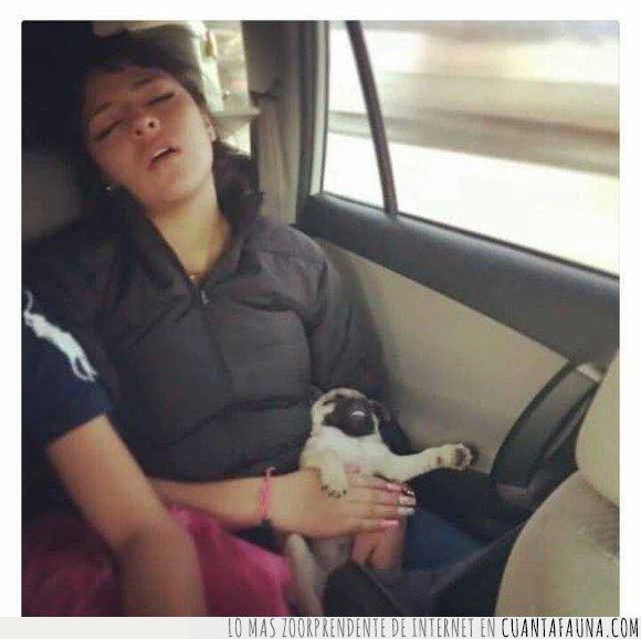 carlino,chica,dormidos,durmiendo,perro,pug