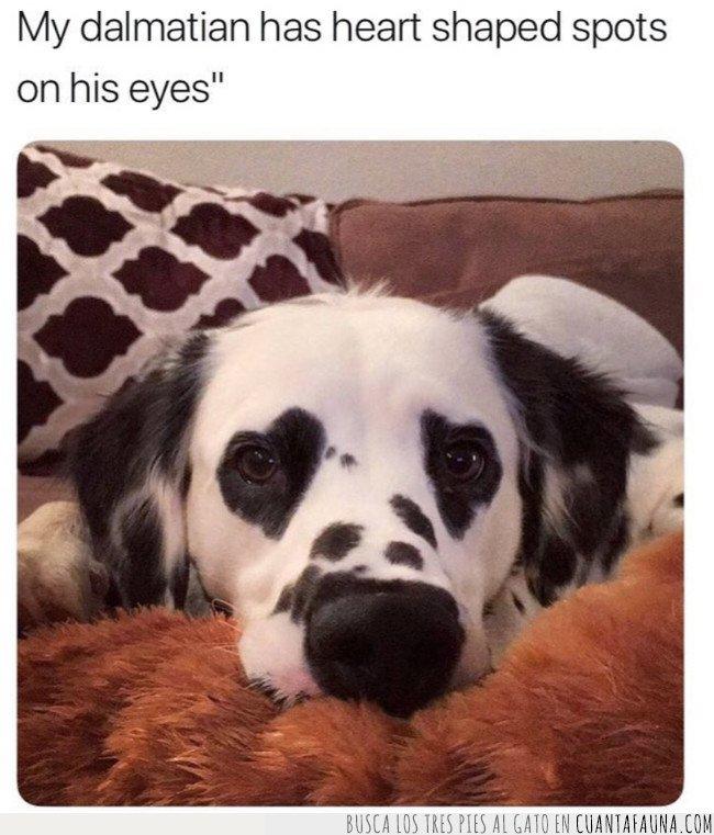corazones,dalmata,manchas,perro