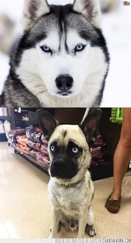 carlino,cruce,husky,perros