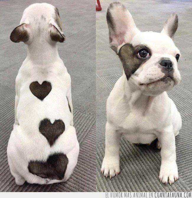 amor,corazones,pelaje,perro
