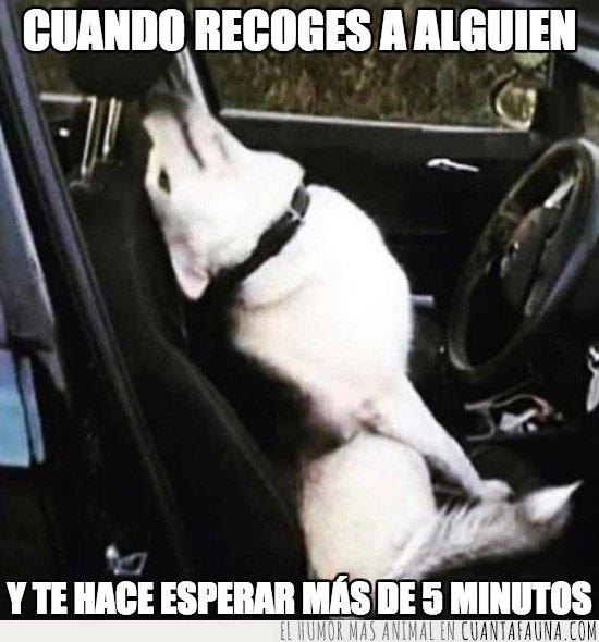 conductor,perro
