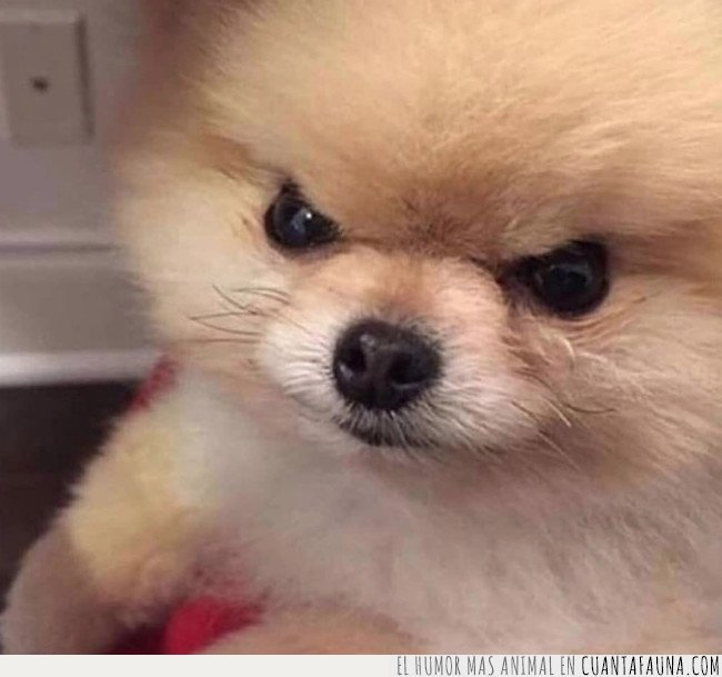 enfadado,perro