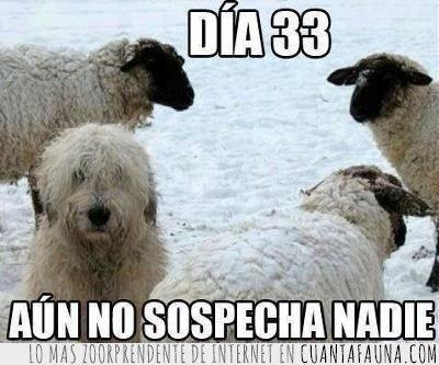 espía,infiltrado,ovejas,perro,sospechas