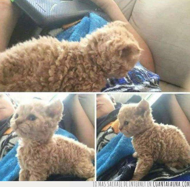gato,oveja,pelo rizado