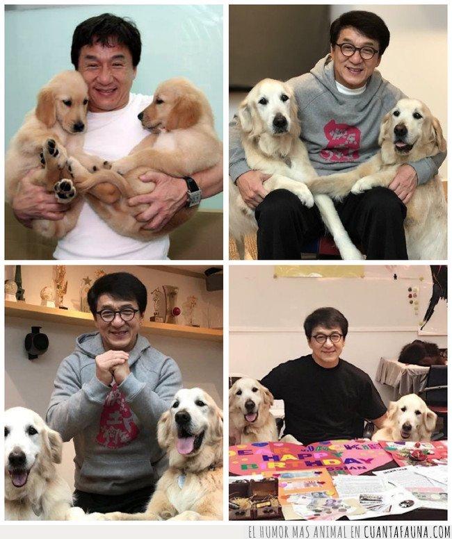 golden,jackie chan,labrador,perro