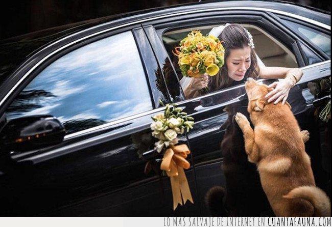 boda,novia,perro,shiba