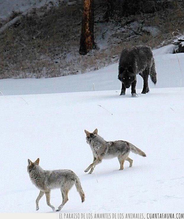 coyotes,lobo