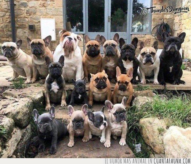 bulldog,perro