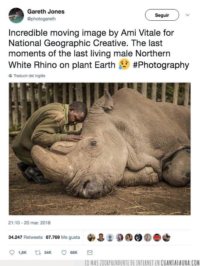 animal salvaje,extinción,rinoceronte blanco
