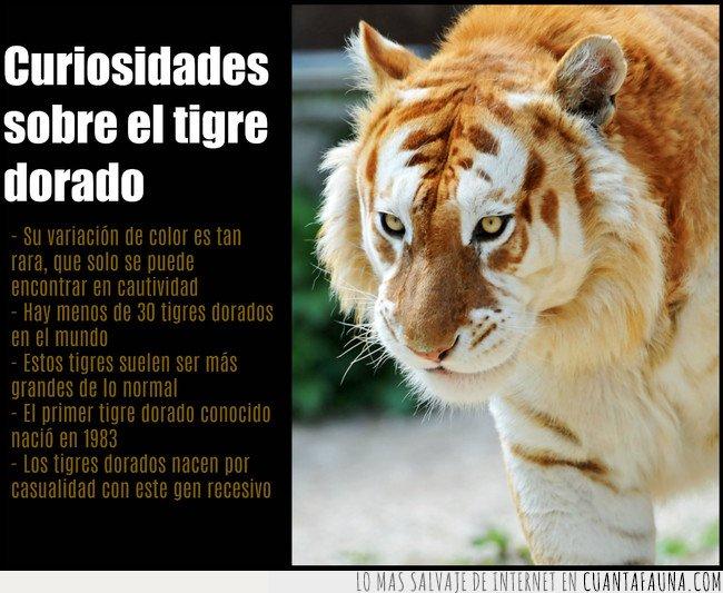 curiosidades,tigre dorado