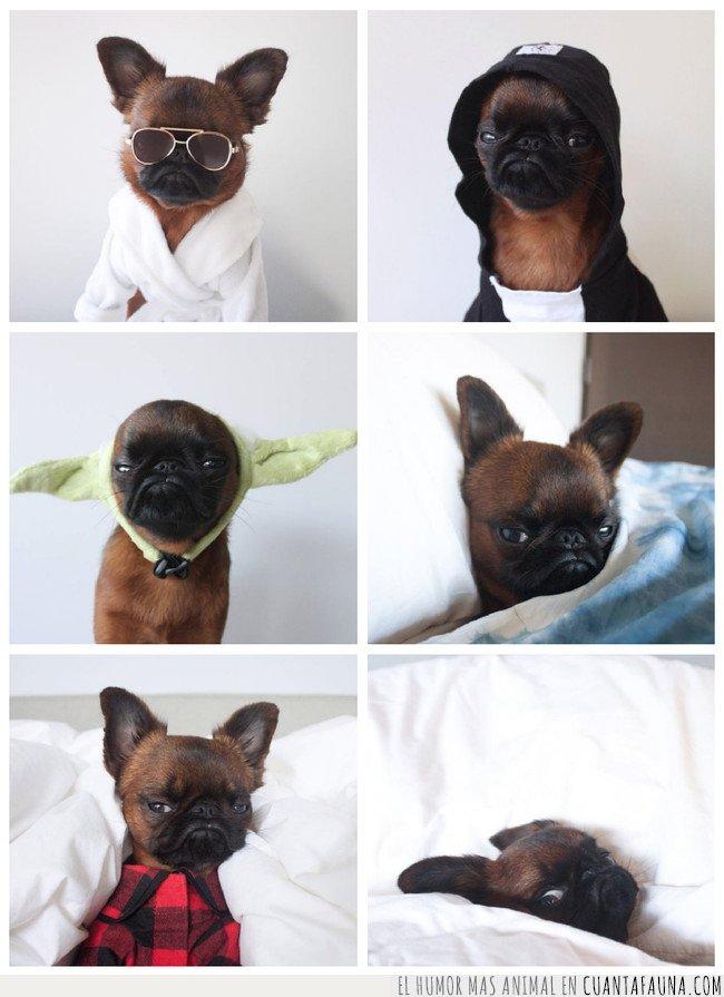 grumpy dog,perros