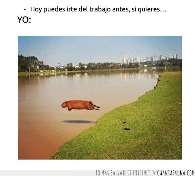 capibara,meme