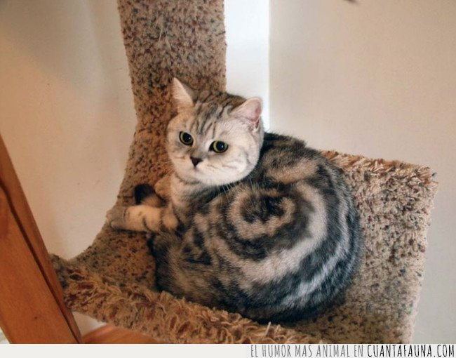cinammon,gato