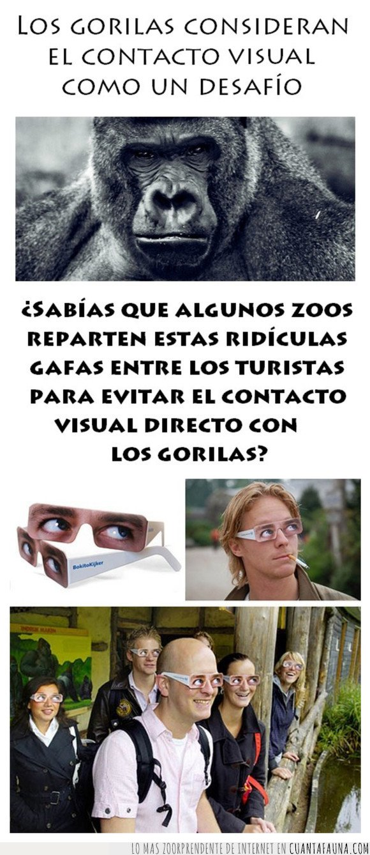 contacto visual,desafío,gorilas