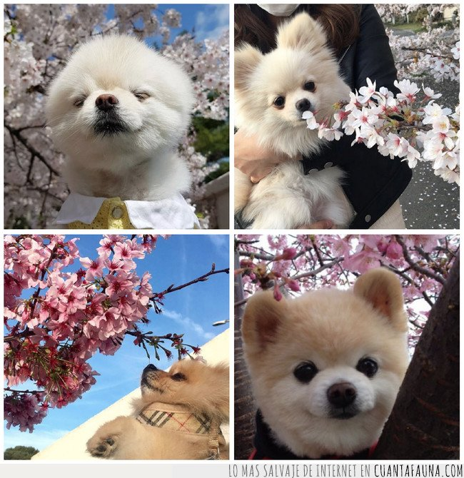 flores,japon,perros