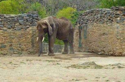 62839 - Muere Ruperta, la elefanta más famosa de Venezuela, por desnutrición debido a la crisis del país
