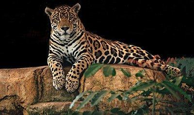 62853 - El tráfico ilegal de colmillos amenaza al jaguar boliviano
