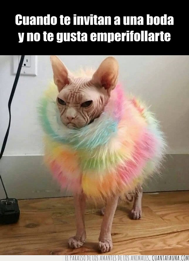 gato,sphynx
