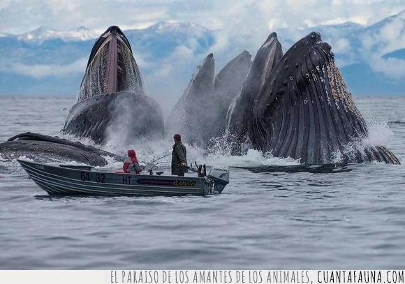 alaska,alimentándose,ballenas