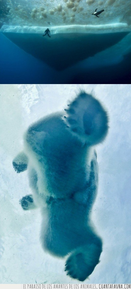 oso,pinguino