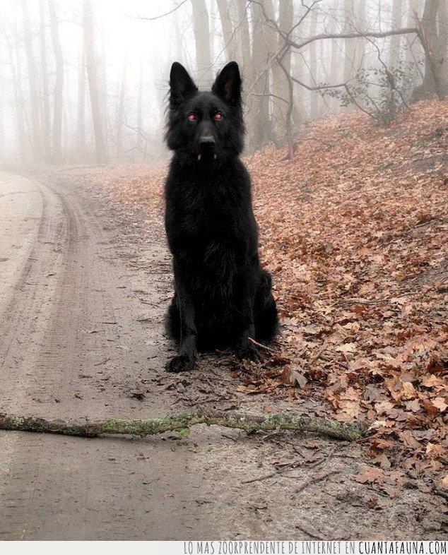 belga,diablo,perro