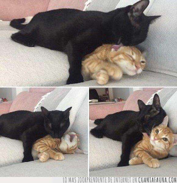 gatos,lavar,madre