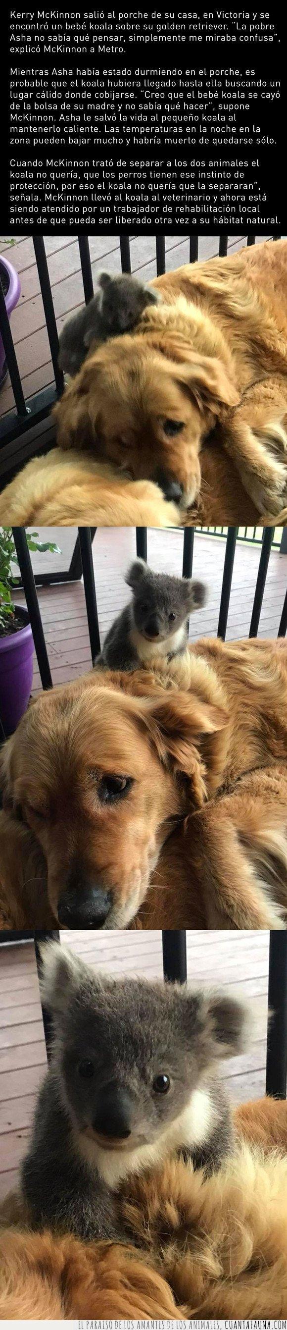 adoptar,dormir,koala,perro